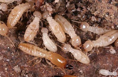 Subterranean Termite